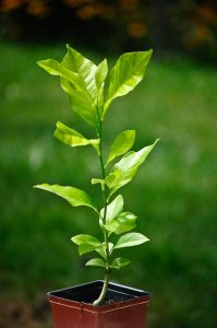 Lemon tree seedling