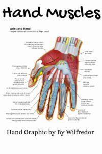 Hand Muscle Graphic. By Wilfredor - Own work. Image renamed from Image:Wrist and hand deeper palmar dissection-en.svg, CC BY-SA 3.0